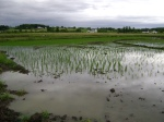 Growing hand transplants in the Eastern Paddy
