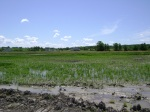 Western Paddy growth