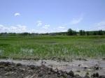 Western Paddy growth