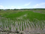 Eastern Paddy growth