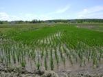 Eastern Paddy growth