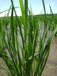 Panicle formation in the Eastern Paddy