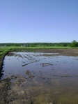 Another view of the Eastern Paddy ready for transplanting
